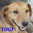 SERBIE - chiens prêts à rentrer (refuge de Bella et pensions) Yogi10
