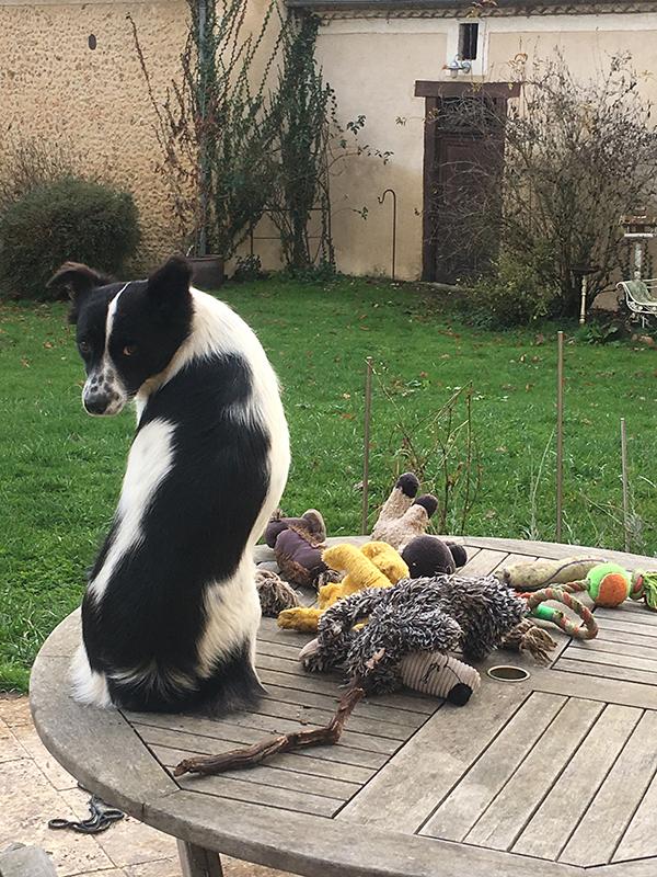 KALISTO - mâle Border Collie de taille moyenne, né environ en mars 2017 . EN CLINIQUE CHEZ LUCIAN - Adopté par Reija (24) - Page 2 Img_4910