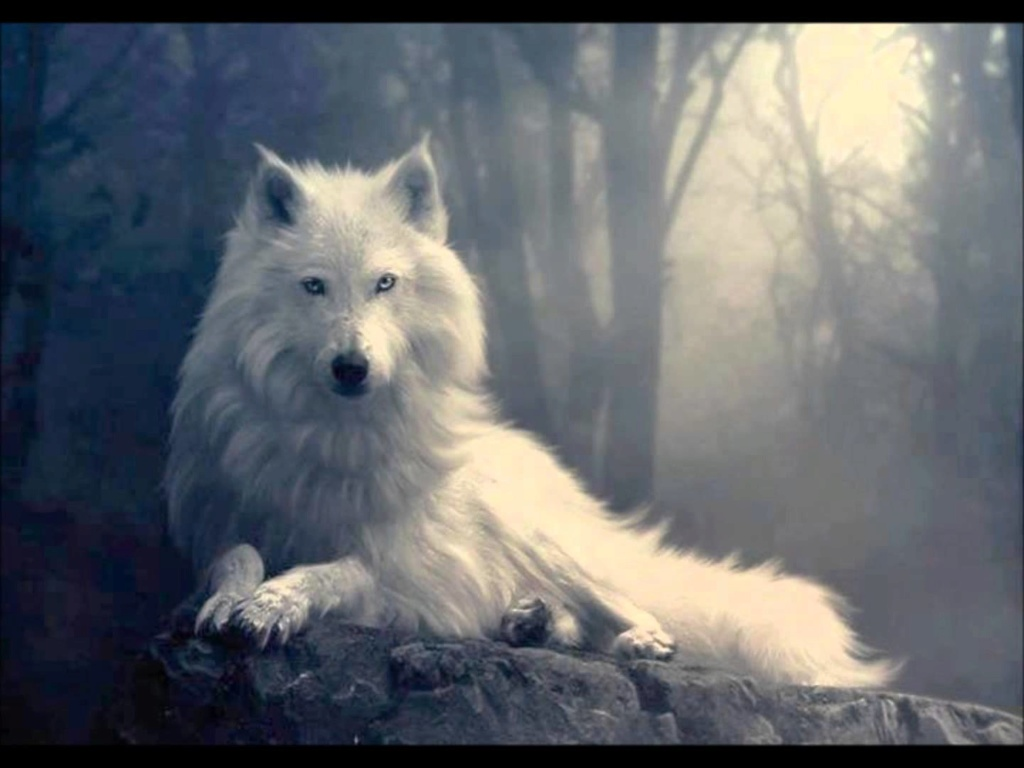 lobo blanco precioso Maxres10