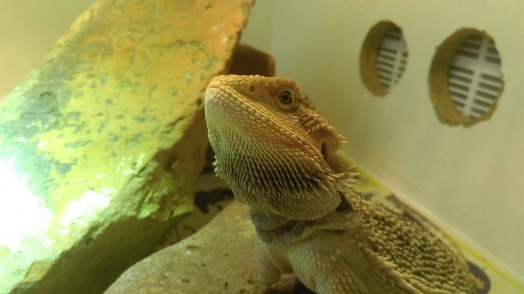Pogona garde sa barbe noire et ne veut pas manger  43878610