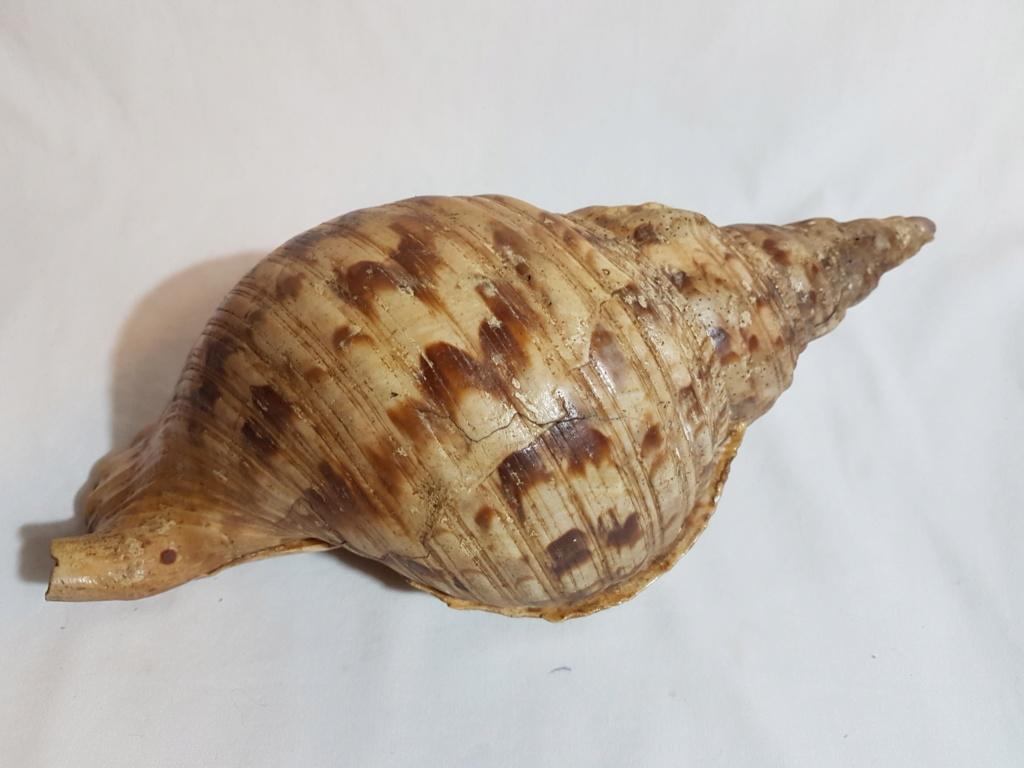 Charonia tritonis - Linnaeus,1758 20190310