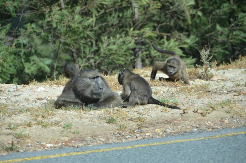 Quelques giboins en Afrique du Sud Dsc_4810