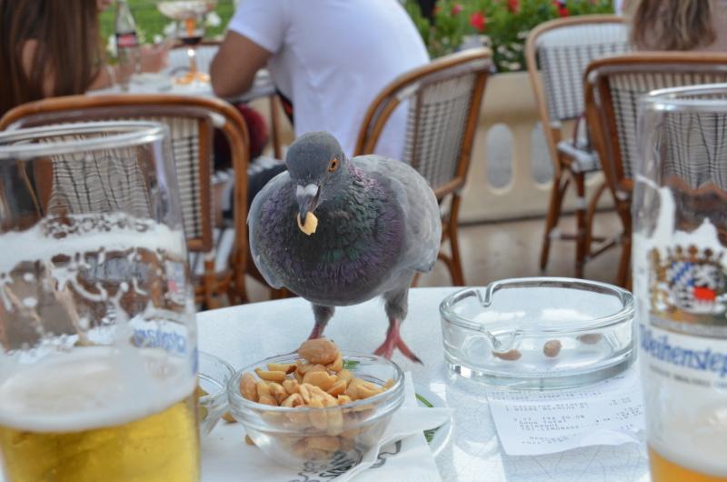Pigeon voleur Dsc_7010