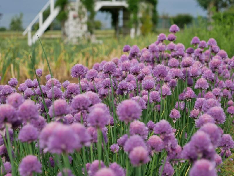 Fines herbes en fleurs P1040350