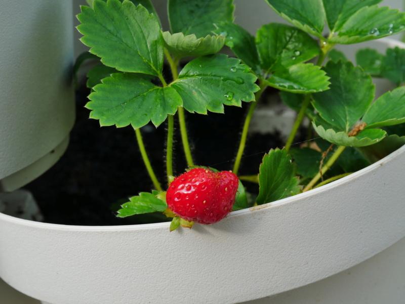 """Ou """"comment faire pousser des fraises des bois"""" P1040421"""