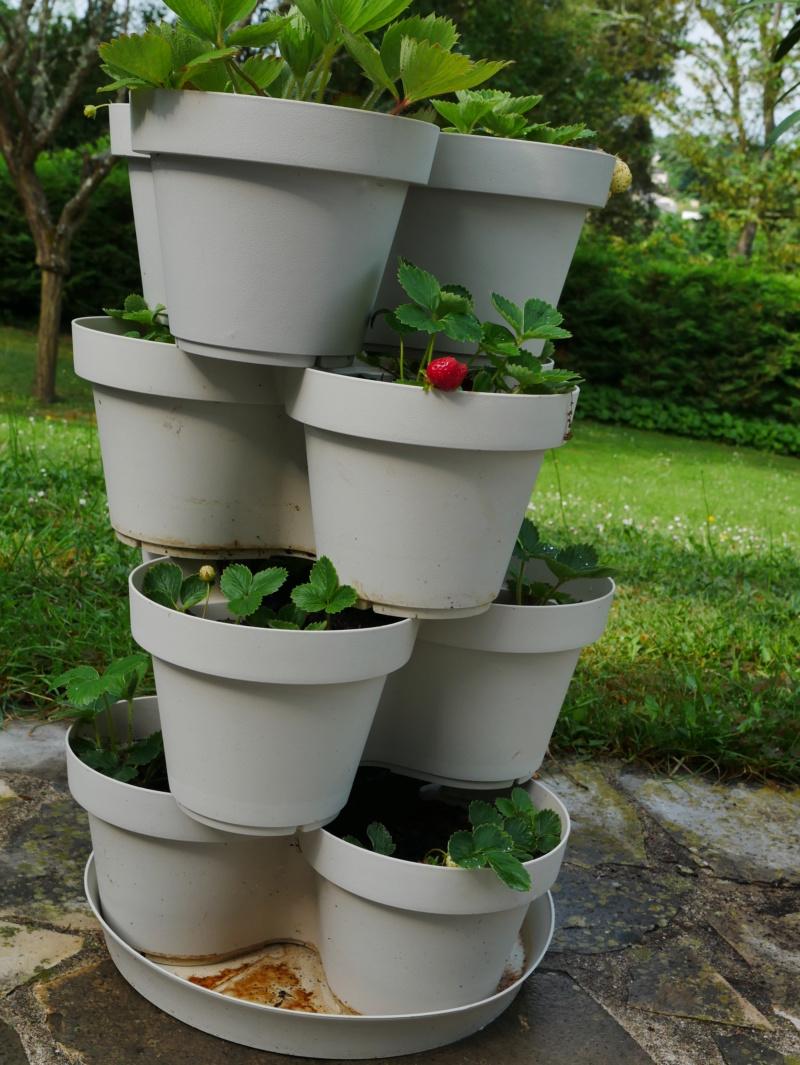 """Ou """"comment faire pousser des fraises des bois"""" P1040422"""