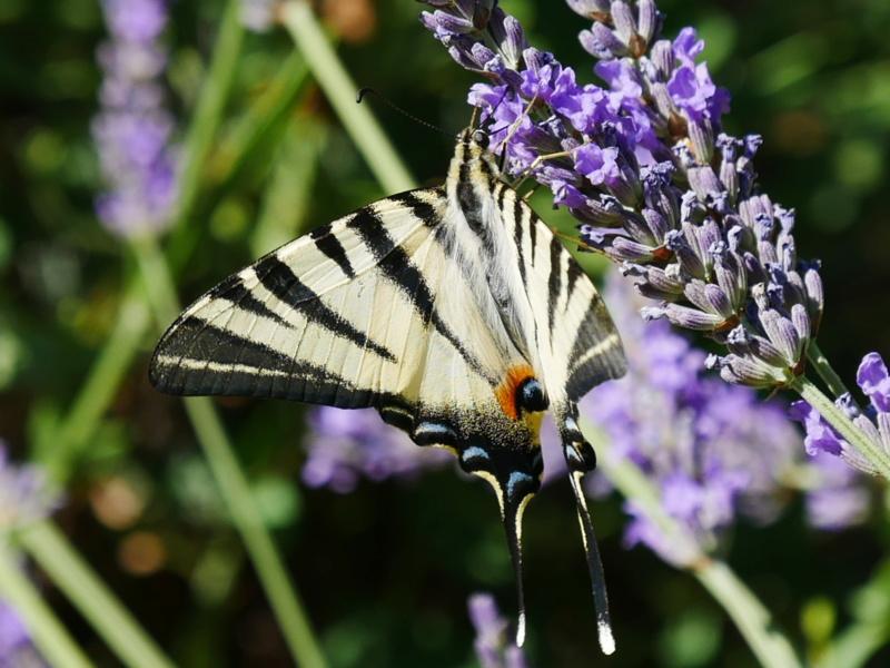 Etrange papillon P1040812