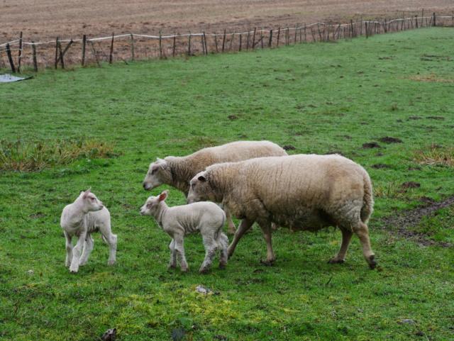 Papa,maman et leurs petits agnelets P1050324
