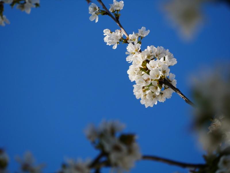 Cerisier P1050424