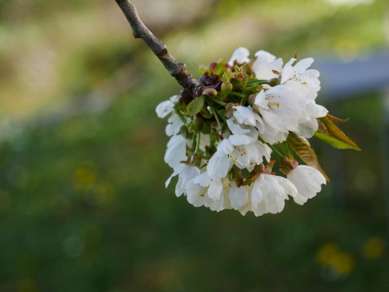 Cerisier P1050425
