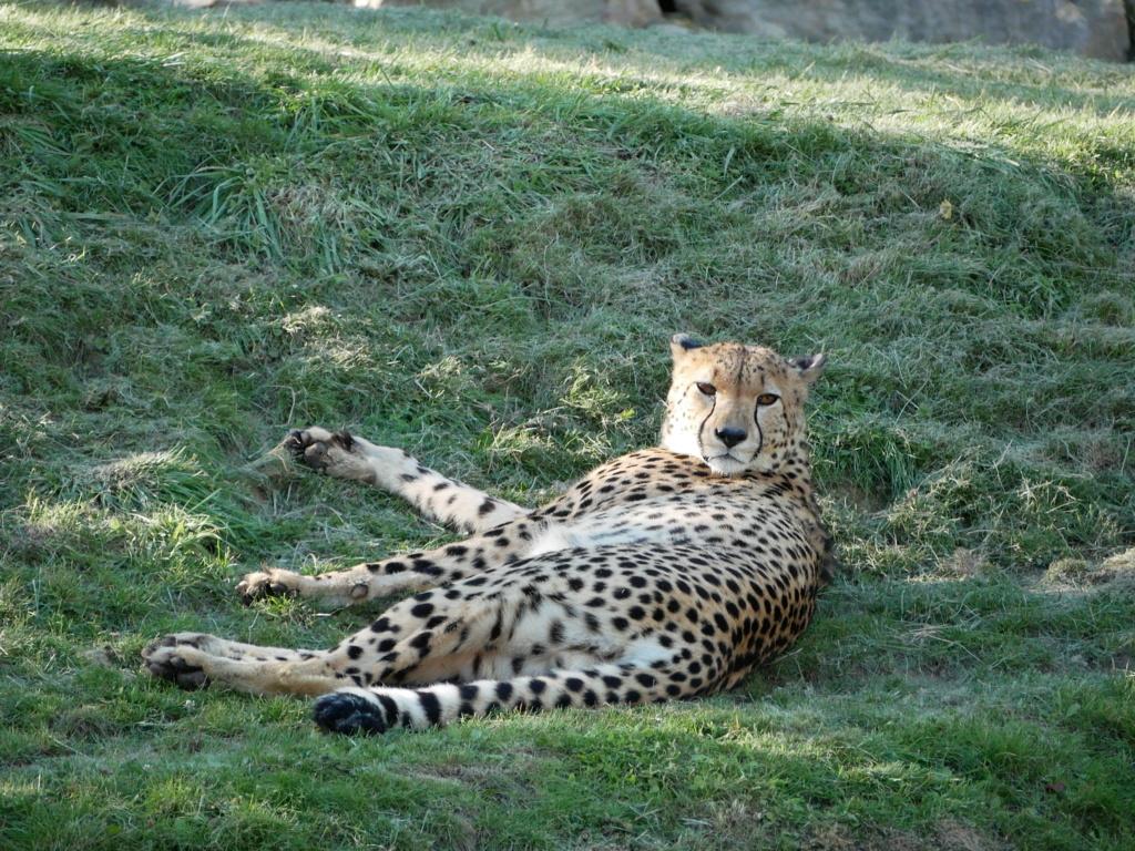Le repos du léopard! P1060015