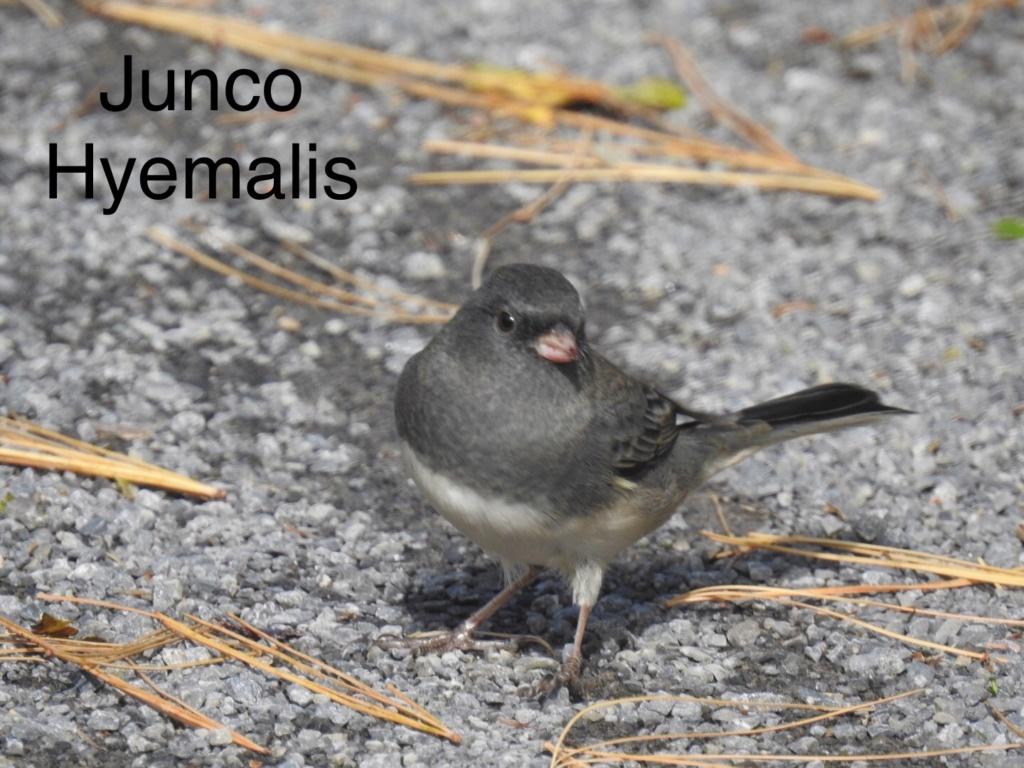 Junco  1dc83e10