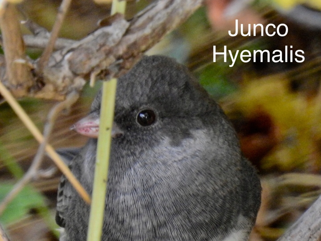 Junco  518fe210