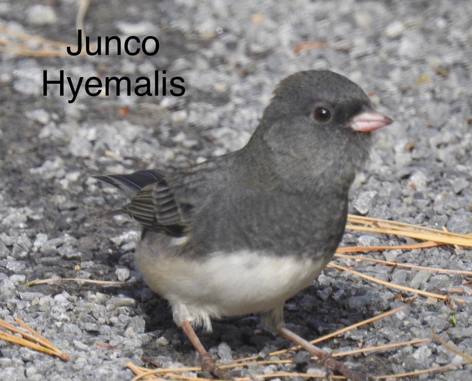 Junco  59aa7d10
