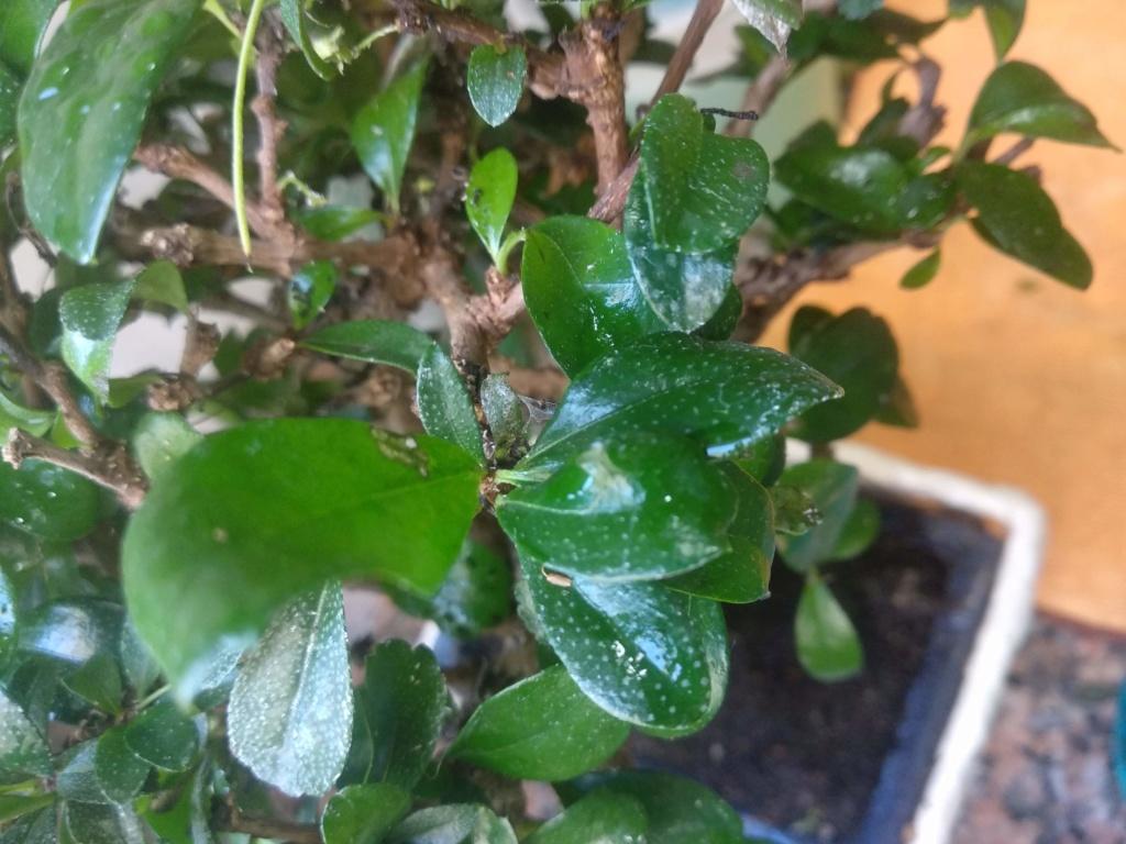 Manchas blancas en hojas (Carmona) Img_2015