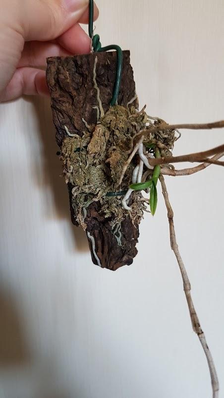 Taches noires et perte de feuilles dendrobium victoria reginae Dendro11
