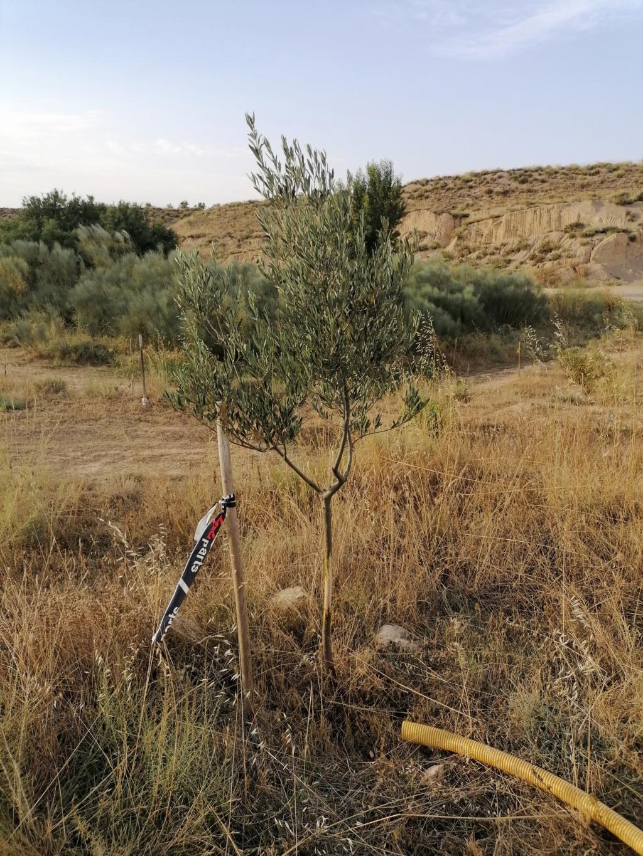 Abono para el olivar Img_2018
