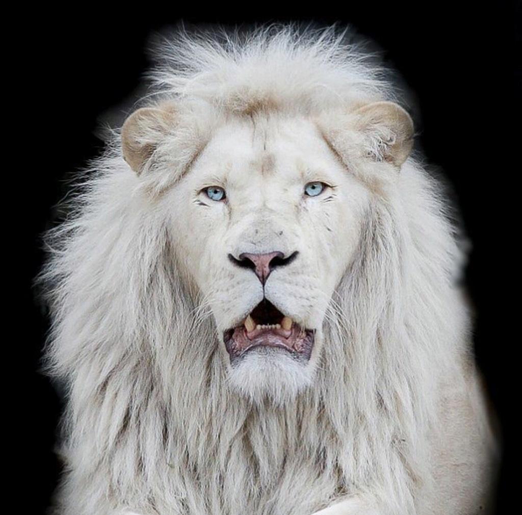 Top 10 animais favoritos Leao_a10