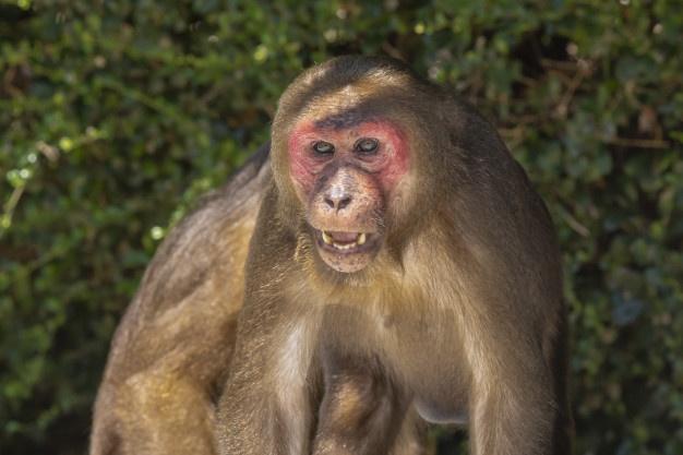 Top 10 animais favoritos Macaco10