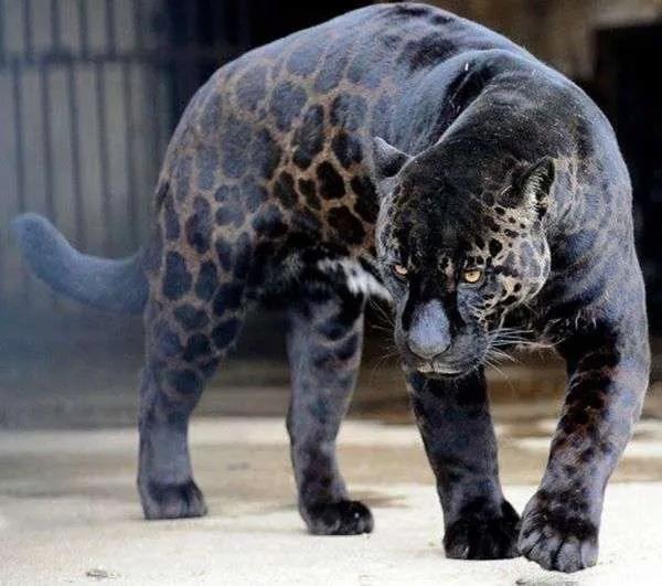 Top 10 animais favoritos Panter10
