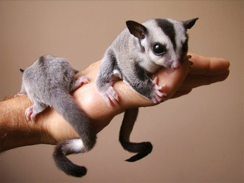 Top 10 animais favoritos Petaur10