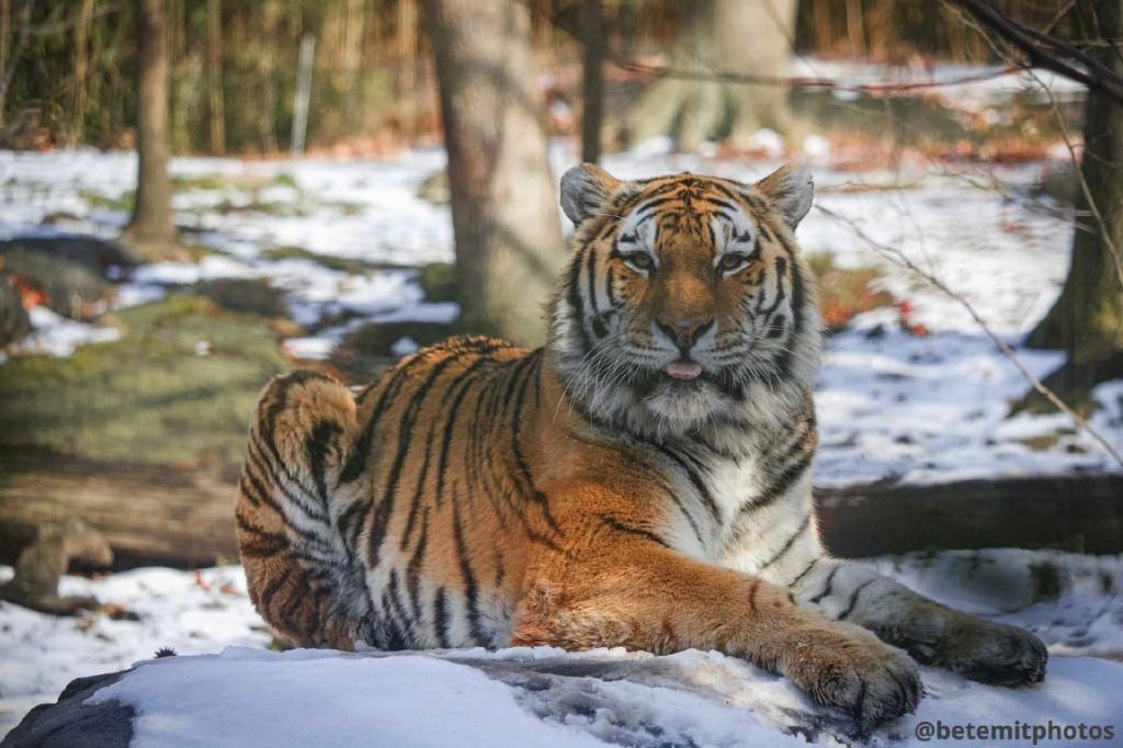 Top 10 animais favoritos Tigre10