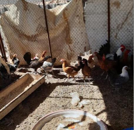 للبيع دجاج بلدي بياض بصحه سليمه 10611