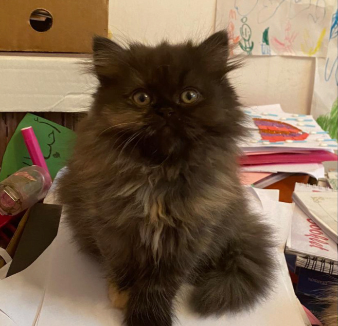 للبيع قطة أنثى تورتيلا بعمر الشهرين 11110