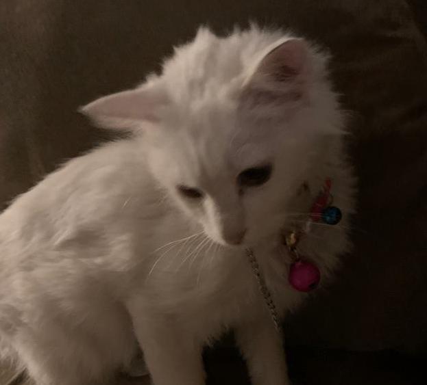 قطة شيرازي للبيع 1112