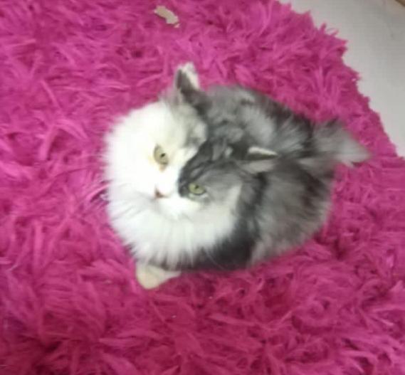 للبيع قطة شيرازية هادئة 11210