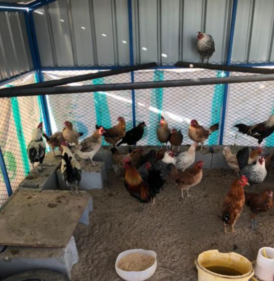 للبيع دجاج بياض وحضان بلدي 11410