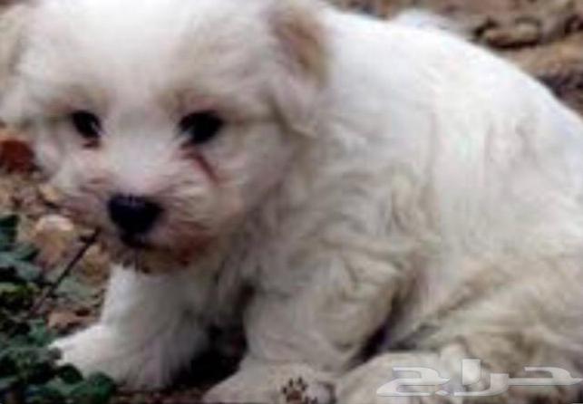 كلب مالتيز للبيع 1214