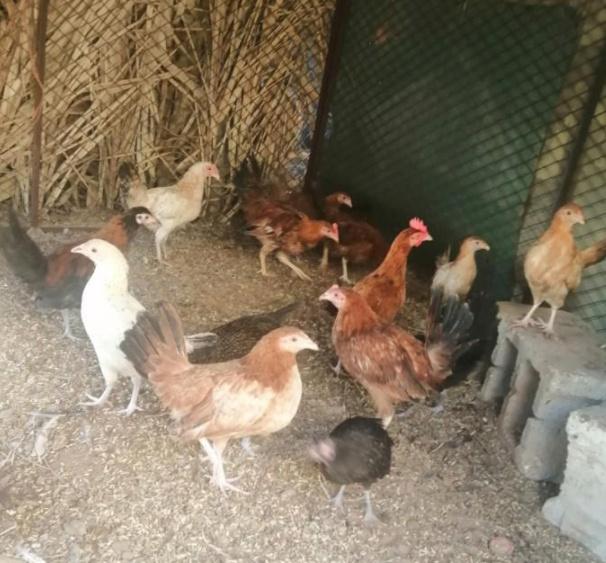 صوص دجاج بلدي للبيع 12710