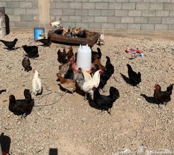 دجاج بياض للبيع 13810
