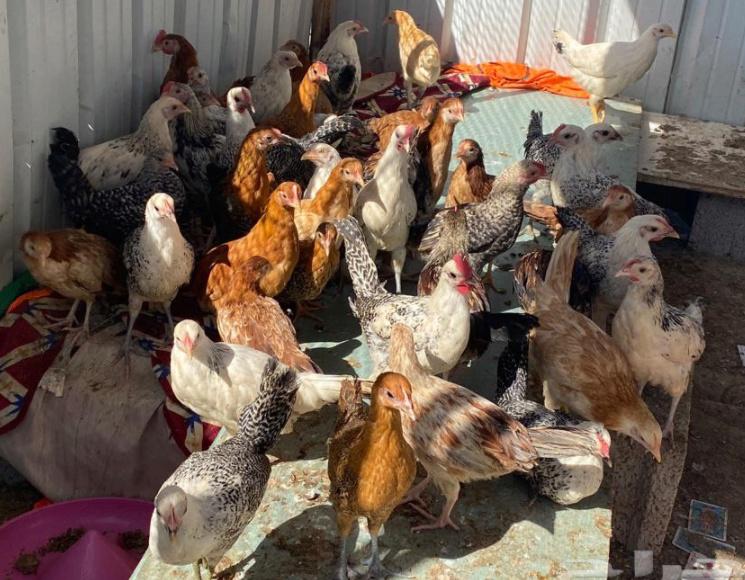 دجاج بلدي للبيع 13910