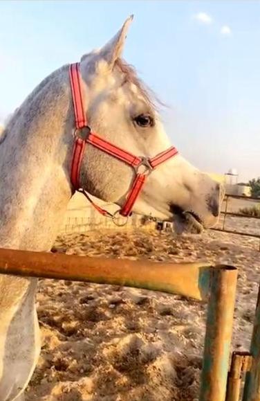 للبيع حصان عربي اصيل 1415