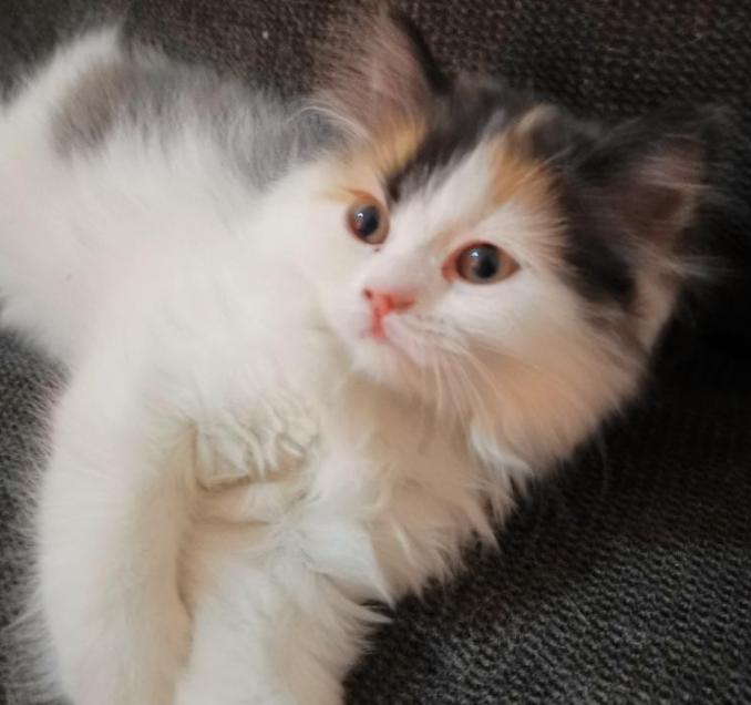 قطط للبيع صغيرة 14611