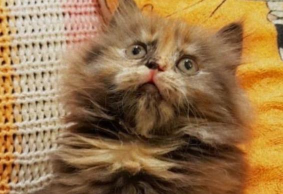 للبيع قطة صغيرة هاف بيكي 1511