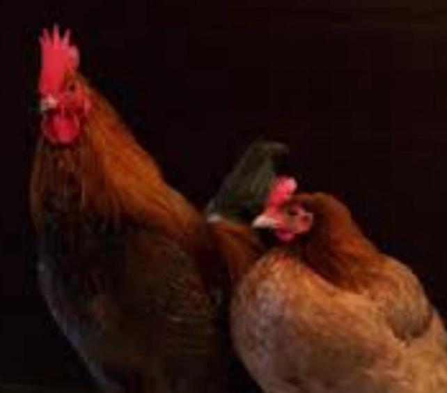 ديك ودجاج للبيع 1512