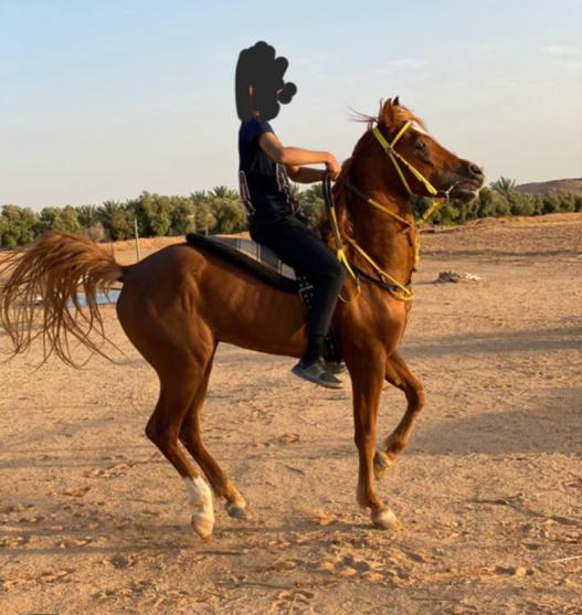 للبيع حصان شعبي عمره 4 سنوات في الجوف 16010