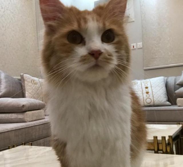 قطة شيرازيه للبيع 1611