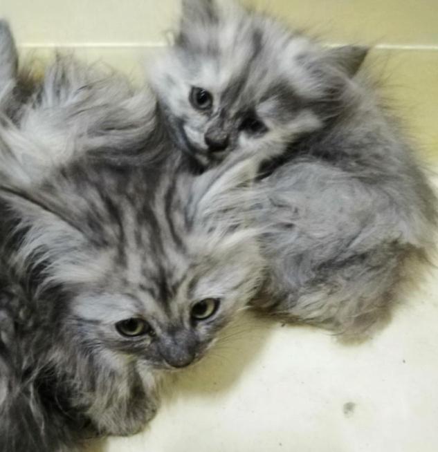 للبيع 3 قطط شيرازي صغار في الشرقية 16910