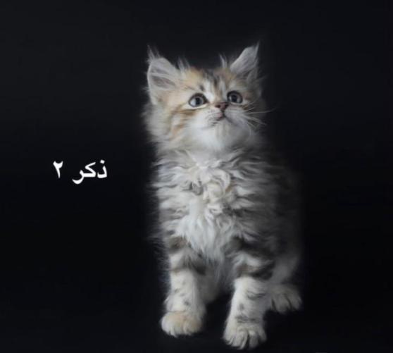قطط شيرازي عدد 3 للبيع العمر 60 يوم 1710