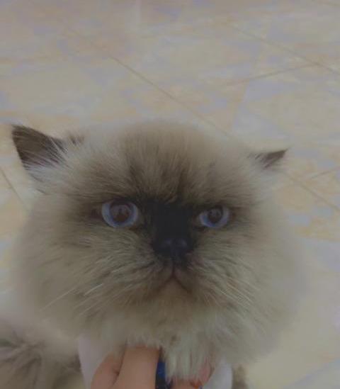 للبيع قطة عمرها 9 شهور 17810