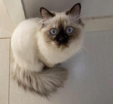 للبيع قطة همالايا انجبت مرتين 1810