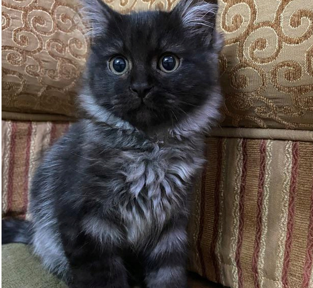 قطة شيرازي للبيع 1811