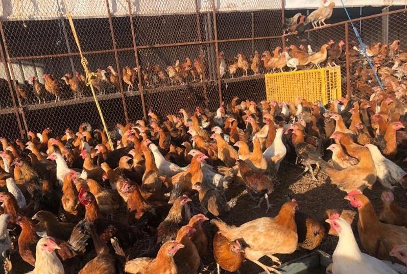 للبيع دجاج بلدي عمره 3 أشهر 18210