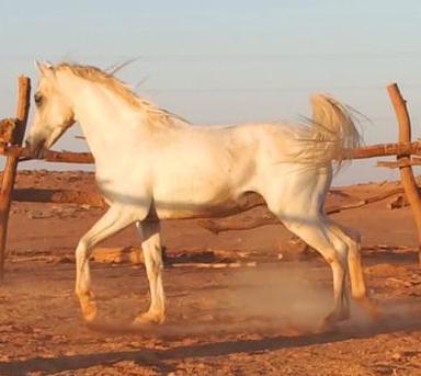 للبيع حصان شخرة شوال عمره 7 أعوام 19710