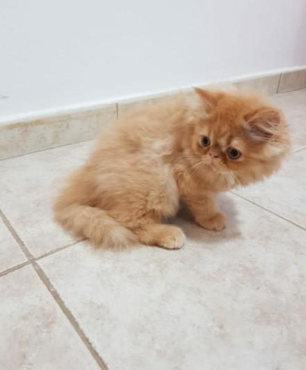 متوفر للبيع قطط مون فيس و بيكي فيس  2010