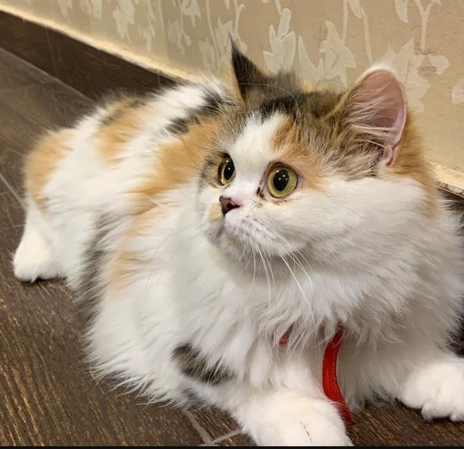 للبيع قطة شيرازيه أنثى عمرها 7 أشهر 20210